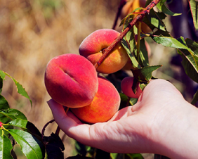 Stone Fruit Tree Pruning Hume