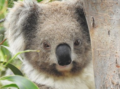 koala-clancy-2-Resized